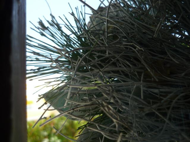 Angetrocknete Pflanze in Spaniens südlichen Bergen
