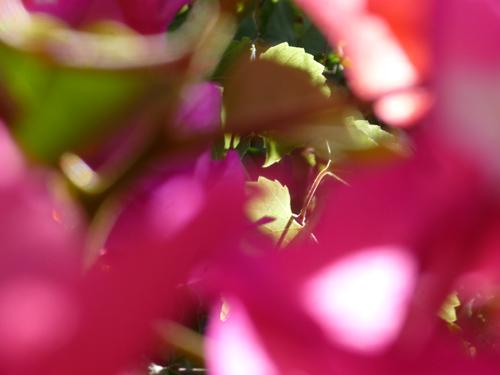 Violette Blume, Silja Korn