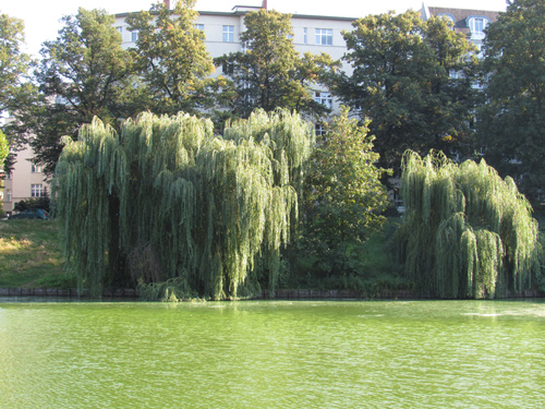 Enten auf dem See im Lietzenseepark, Silja Korn