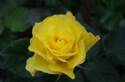 Silja Korn, Gelbe Rose