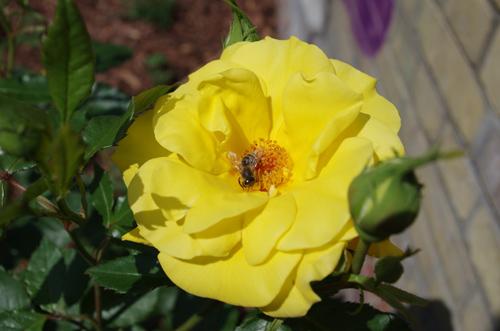 Silja Korn, Gelbe Rose mit Biene