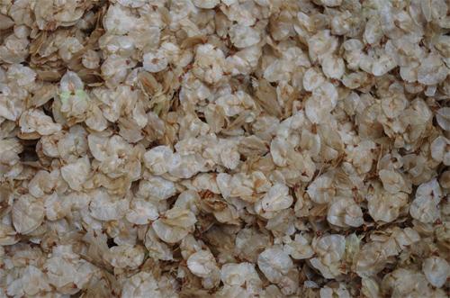 Silja Korn, das Blütenmeer