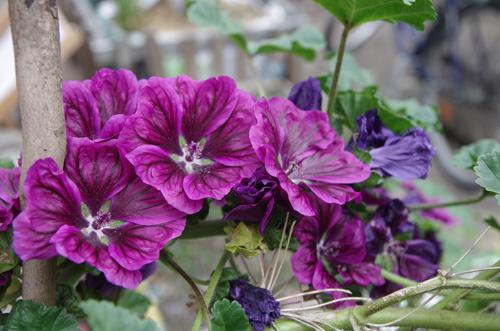 Silja Korn, violette Blume
