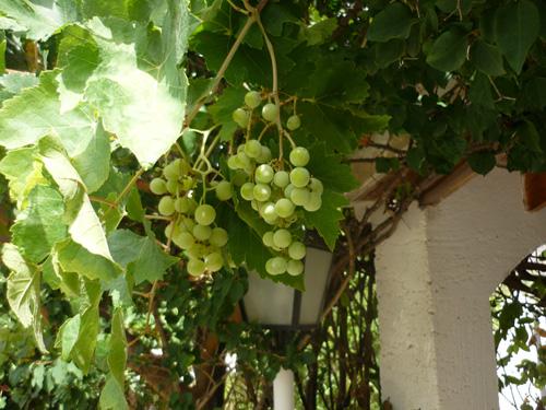 Weinrebe mit Früchten